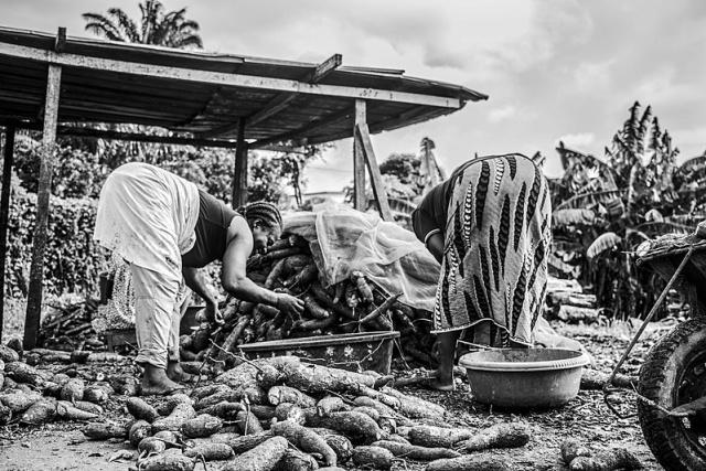 Уборка маниока. Кот-д'Ивуар, 2017