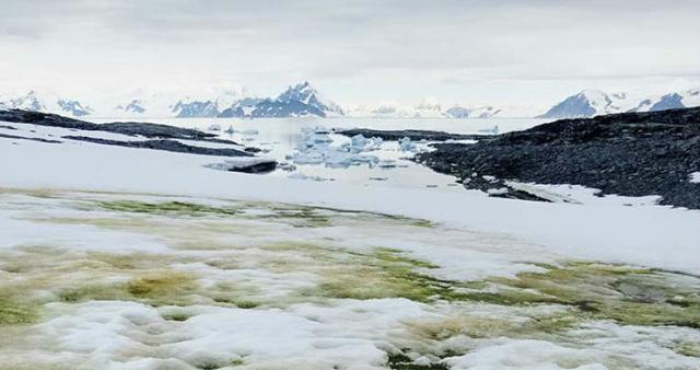 Снег, покрытый зелеными водорослями. Остров Анкоридж. Фото: nature.com