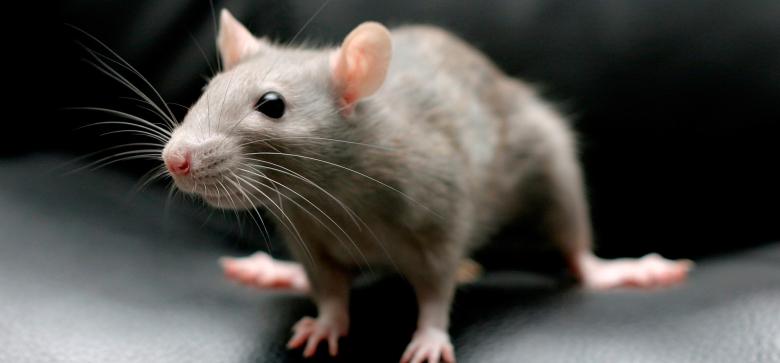 Картинки по запросу искусственный интеллект крыс